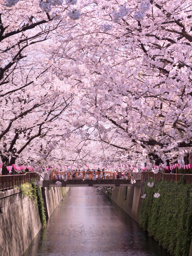 Sakura-cerisier-tokyo-voir